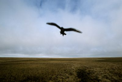 Photo: A parasitic jaeger (Stercorarius parasiticus) dive bombs to protect its nest on the wide-open tundra near Barrow, Alaska.