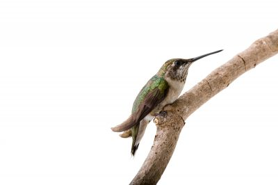 A ruby-throated hummingbird (Archilochus colubris).
