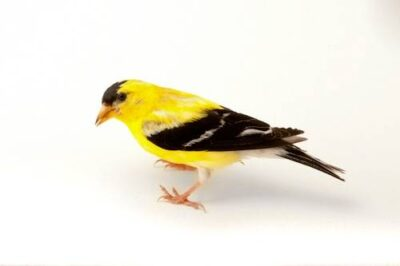 A studio portrait of an American goldfinch (Spinus tristis pallidus) in Nebraska.