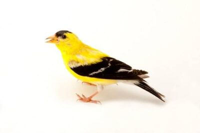 A studio portrait of an American goldfinch (Carduelis ristis tristis) in Nebraska.