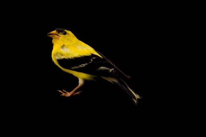 A studio portrait of an American goldfinch (Spinus tristis pallidus) in Nebraska.