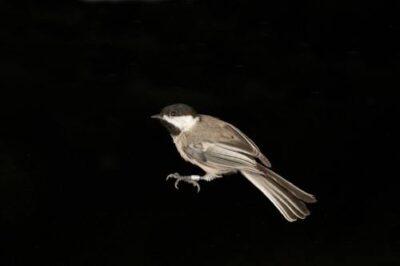 A black-capped chickadee (Poecile atricapillus).