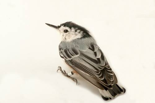 A white-breasted nuthatch (Sitta carolinensis).