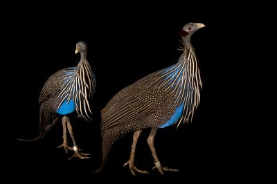 A pair of Vulturine guineafowl (Acryllium vulturinum) at the Lincoln Children's Zoo.