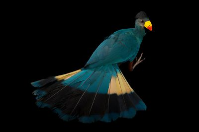 Picture of a great blue turaco (Corythaeola cristata) at the Houston Zoo.