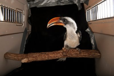 Jackson's hornbill (Tockus jacksoni) at the Fort Worth Zoo.