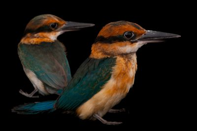 Micronesian kingfishers (Todiramphus cinnamominus) at the Houston Zoo. This species is considered Extinct in the Wild by IUCN.