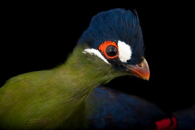 Hartlaub's turaco (Tauraco hartlaubi) at the Houston Zoo.