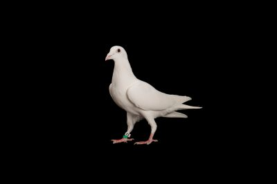 Photo: A white dove at the Capital Humane Society in Lincoln.