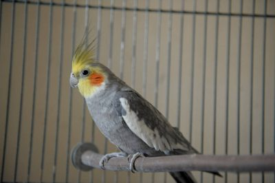 A cockatiel, Nymphicus hollandicus, sits on a perch.