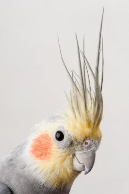 A pet cockatiel, Nymphicus hollandicus, in Lincoln, Nebraska.