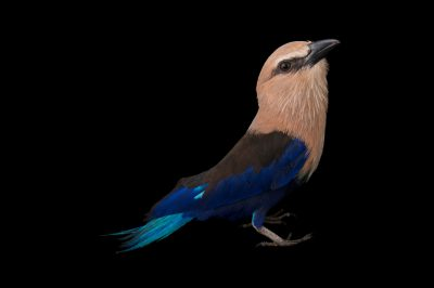 A blue-bellied roller (Coracias cyanogaster) at the Gladys Porter Zoo.