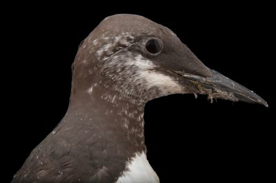 Common murre (Uria aalge) at the Omaha Zoo.