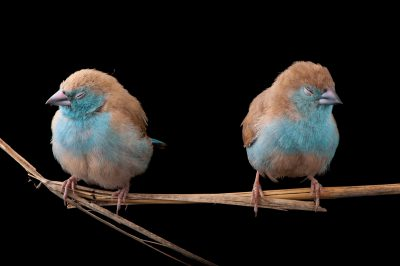Blue waxbills (Uraeginthus angolensis) (awake or dozing off) are a common sight in Gorongosa's dry, bushy grasslands. So far, nearly 400 bird species have been documented in the park.