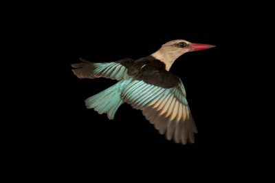 Brown-hooded kingfisher (Halcyon albiventris) collected at Chitengo Camp, in Gorongosa National Park.