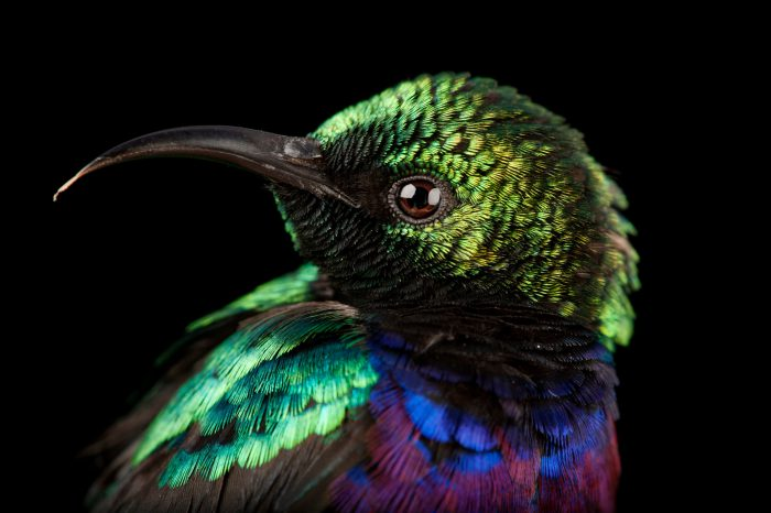 A purple-banded sunbird (Nectarinia bifasciata microhychus) at Chitengo Camp, in Gorongosa National Park.