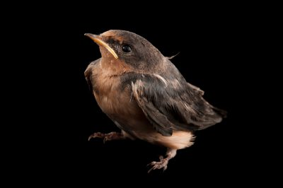 A juvenile barn swallow, Hirundo rustica, from the home of wildlife rescuer in Lincoln, Nebraska.