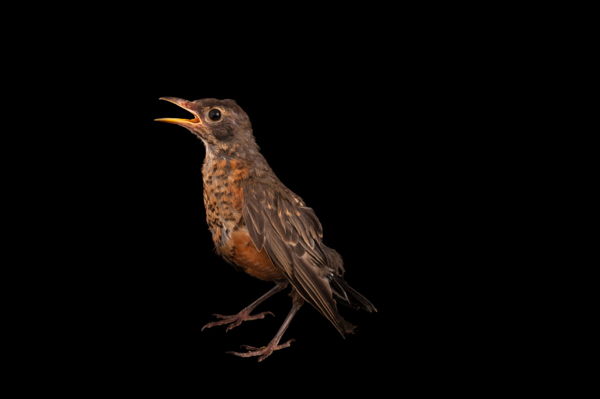 Picture of a young robin, Turdus migratorius, from the home of wildlife rescuer in Lincoln, Nebraska.