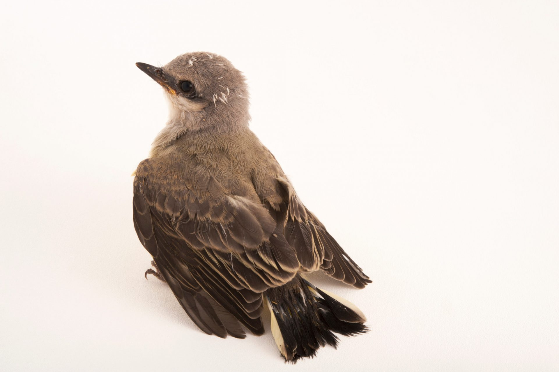 Western kingbird chick, Tyrannus verticalis, at the home of wildlife rescuer in Lincoln, Nebraska.