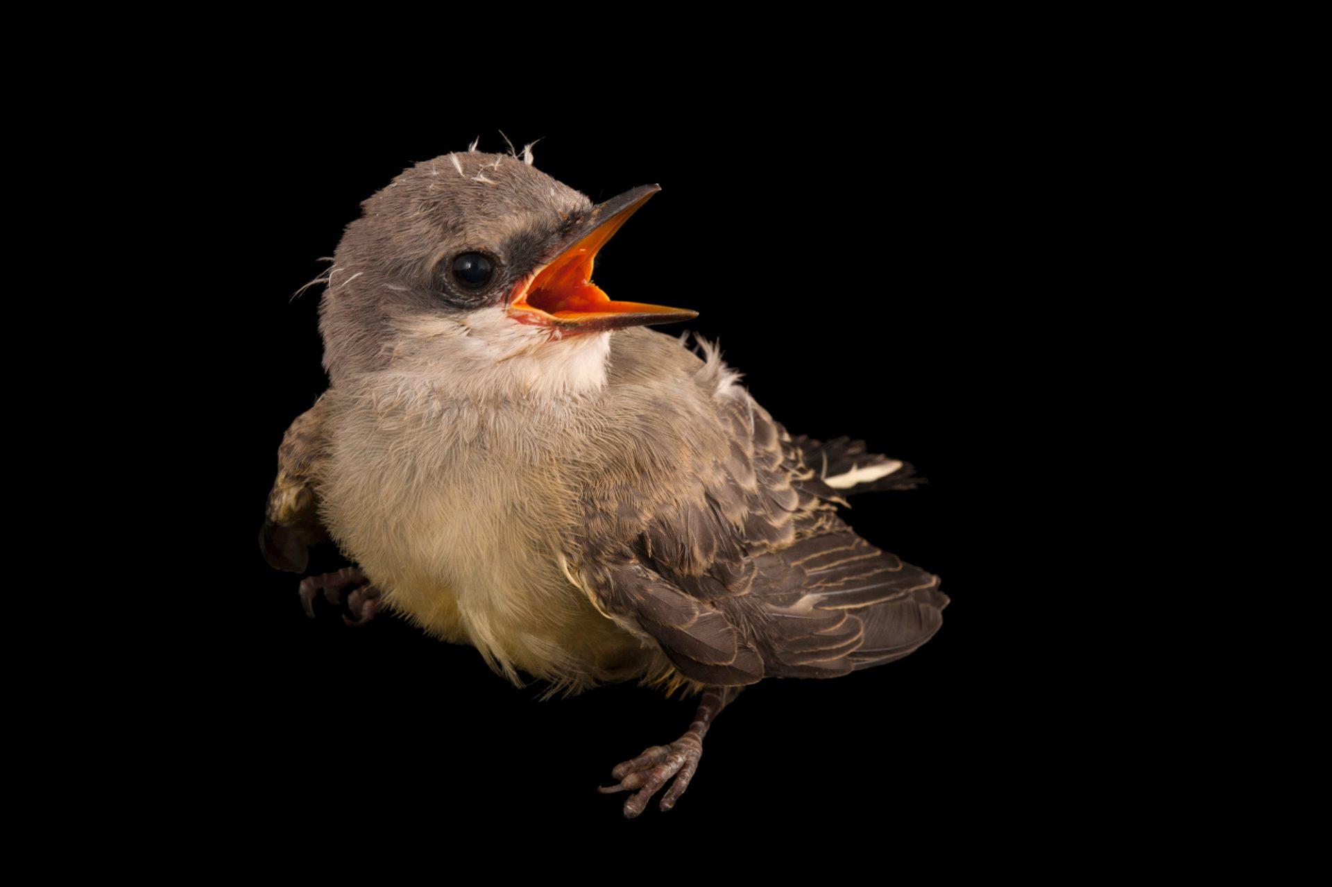 Western kingbird chick, Tyrannus verticalis, at the home of wildlife rescuer in Lincoln, Nebraska.