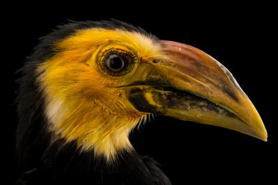 Picture of a vulnerable Sulawesi hornbill (Penelopides exarhatus) at the Lowry Park Zoo in Tampa, Florida.