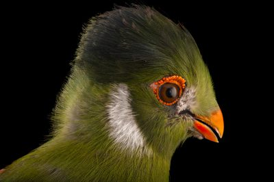 A white-cheeked turaco (Tauraco leucotis leucotis) from the Gladys Porter Zoo in Brownsville, Texas.