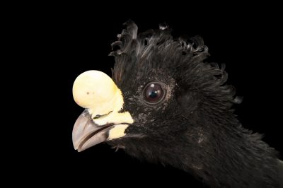 A vulnerable great curassow (Crax rubra rubra) at the Gladys Porter Zoo in Brownsville, Texas.