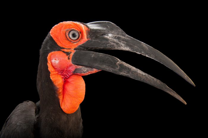 Picture of a vulnerable Leadbeater's ground hornbill (Bucorvus leadbeateri) at the Gladys Porter Zoo in Brownsville, Texas.