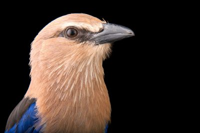 A blue-bellied roller (Coracias cyanogaster) from the Gladys Porter Zoo in Brownsville, Texas.