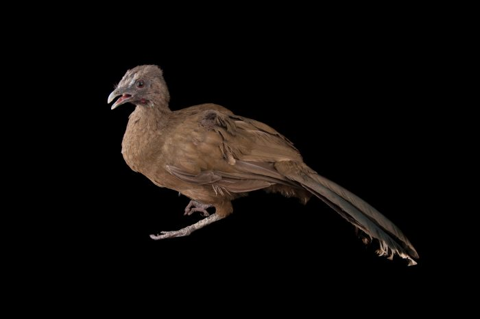 A plain chachalaca (Ortalis vetula) from the Gladys Porter Zoo in Brownsville, Texas.