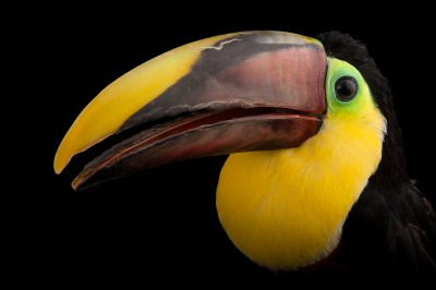 A vulnerable Swainson's toucan (Ramphastos ambiguus swainsonii) at the Omaha Henry Doorly Zoo, in Omaha, Nebraska.