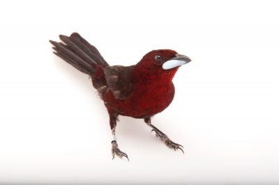 Picture of a silver-beaked tanager (Ramphocelus carbo) at the Omaha Henry Doorly Zoo, in Omaha, Nebraska.