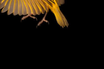 A golden taveta weaver (Ploceus castaneiceps) at the Cleveland Metroparks Zoo.