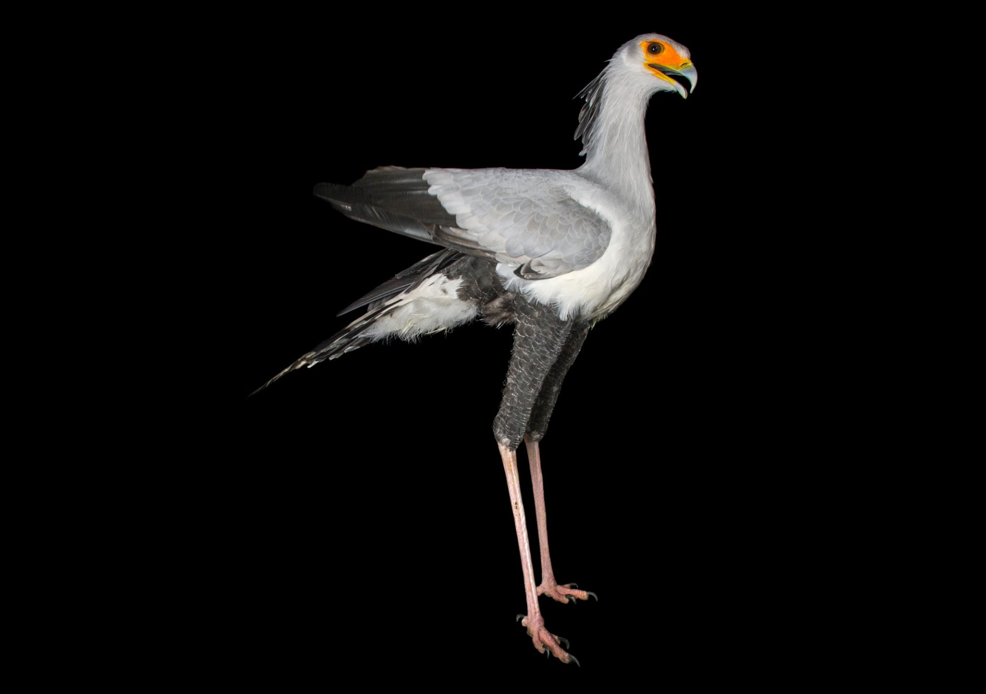 Picture of a vulnerable secretary bird (Sagittarius serpentarius) at the Toronto Zoo.