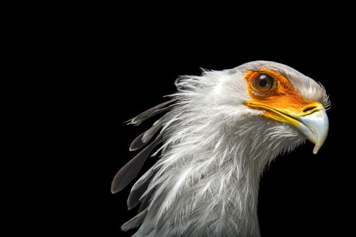 Picture of a vulnerable secretary bird (Sagittarius serpentarius) at the Toronto Zoo.
