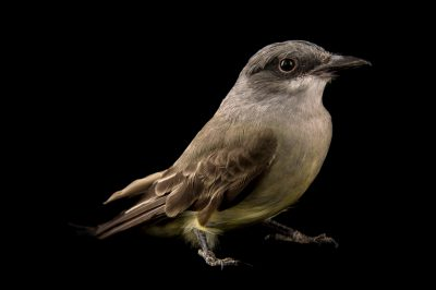 Picture of a Cassin's Kingbird (Tyrannus vociferans) at the Santa Barbara Wildlife Care Network.
