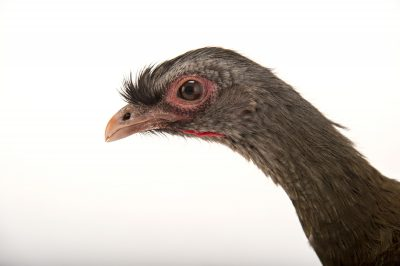 Picture of a chaco chachalaca (Ortalis canicollis) at Tracy Aviary.