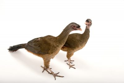 Picture of a mated pair of chaco chachalaca (Ortalis canicollis) at Tracy Aviary.