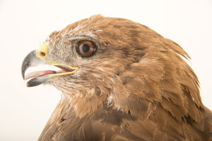 Photo: Common buzzard (Buteo buteo) from the Budapest Zoo.