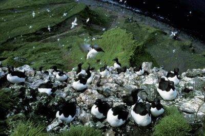 Photo: Murres nest on the rocky cliffs of St. George Island in thePribilofs (Alaska).