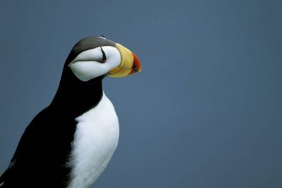 Photo: Horned puffin on St. Paul Island in the Priblofs (Alaska.)