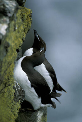 Photo: Murres nest on the cliffs of St. George Island in the Pribilofs (Alaska).