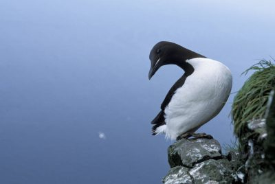 Photo: Murre on the cliffs of St. George Island in the Pribilofs (Alaska).