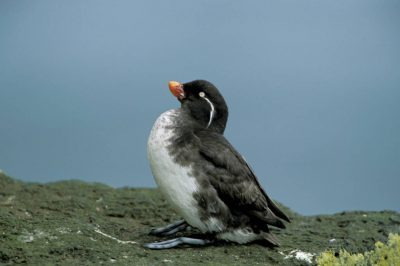 Photo: Parakeet auklet on the island of St. George in the Priblofs(Alaska).