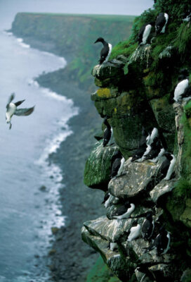 Photo: Murres nest on the rocky cliffs of St. George Island in the Pribilofs (Alaska).