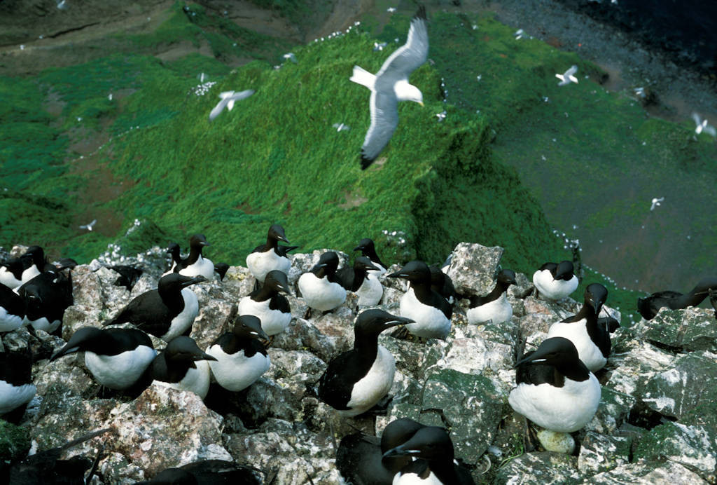 Photo: Murres nest on the rocky cliffs and red-legged kittwakes fly in the background on St. George Island in the Pribilofs (Alaska).