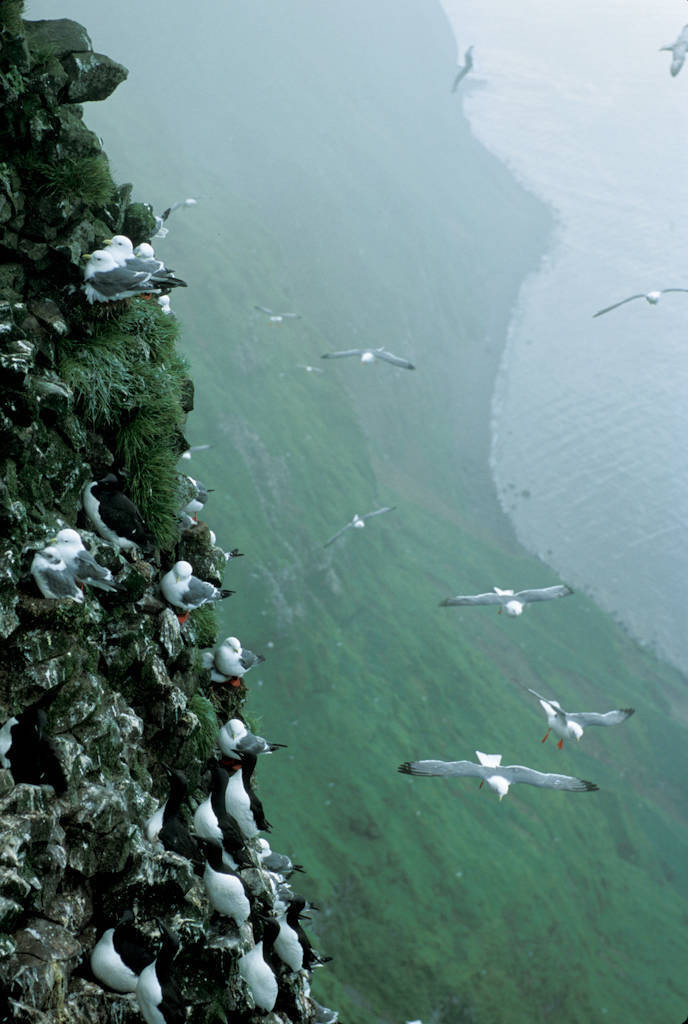 Photo: Red-legged kittwakes and thick-billed murres on the cliffs of St. George Island in the Pribilofs (Alaska).