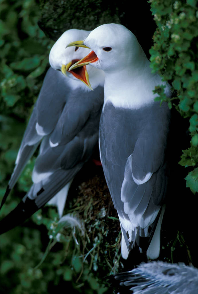 Photo: Red-legged kittiwakes nest on the side of St. George Island in the Pribilofs (Alaska).