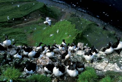 Photo: Red-legged kittiwakes and murres nest on the cliffs of St. George Island in the Pribilofs (Alaska).