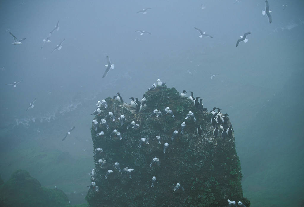 Photo: Red-legged kittiwakes on St. George Island in the Pribilofs (Alaska).